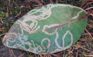 Madrona leaf with trail, 12/29/2013