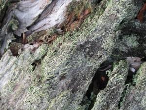 Tree bark with moss, 12/29/2013