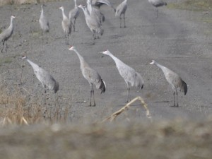 A group of Sandhill cranes.