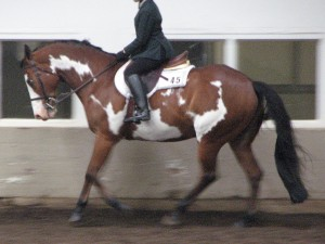 English pleasure horse, still cantering slowly but on the bit with contact