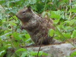 californiagroundsquirrel