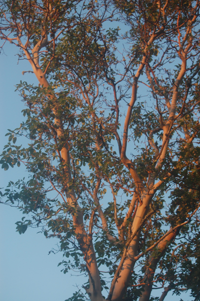 twilighttree