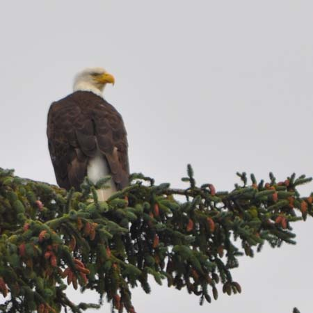 A bald eagle for Independence Day.