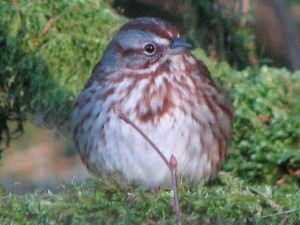 Fluffed up song sparrow
