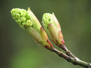 This young twig waits for better weather before releasing its leaves and setting its blooms.