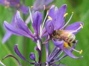 europeanbee1