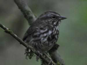 friendlysongsparrow