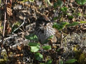 youngsongsparrow