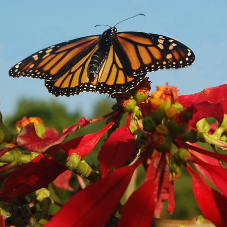 butterflyonpoisettia