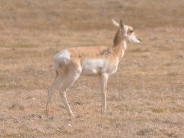 sickantelope