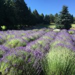 Blogging is cool and smells like lavender